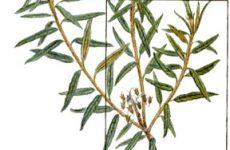Трави від кашлю – лікування кашлю натуральними засобами