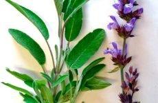 Якими травами можна полоскати горло при ангіні?