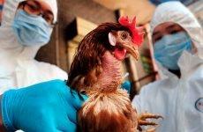 Пташиний грип у людей і його лікування