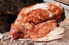Симптоми пташиного грипу у курей