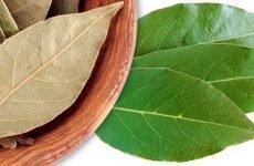 Кінський каштан і лавровий лист – рецепти для лікування гаймориту