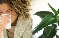 Як застосовувати каланхое при гаймориті – – 5 рецептів, ефективно чи лікування?